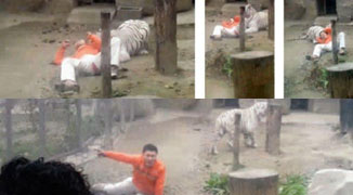 Man Climbs Into Bengal Tiger Cage at Chengdu Zoo, Unharmed