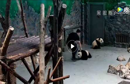 Chinese Netizens Outraged by Video of Panda Cub 'Abuse'